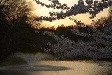 井の頭恩賜公園噴水と桜の画像002