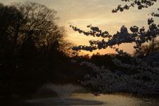 井の頭恩賜公園噴水と桜の画像005
