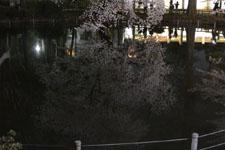 井の頭恩賜公園の満開の夜桜の画像001