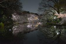 井の頭恩賜公園の満開の夜桜の画像004