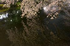 井の頭恩賜公園の満開の夜桜の画像006