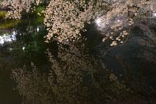 井の頭恩賜公園の満開の夜桜の画像007