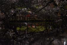 井の頭恩賜公園の満開の夜桜の画像009