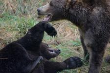アラスカのグリズリーの画像098