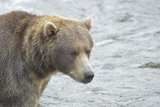 アラスカのグリズリーの画像114