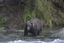アラスカのグリズリーの画像116