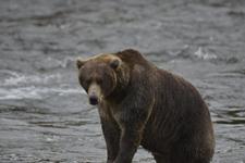 アラスカのグリズリーの画像117