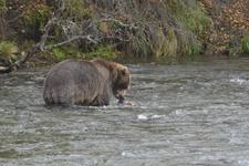 アラスカのグリズリーの画像119