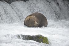 アラスカのグリズリーの画像125