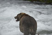 アラスカのグリズリーの画像128