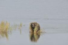 アラスカのグリズリーの画像131