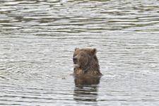 アラスカのグリズリーの画像132