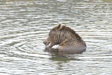 アラスカのグリズリーの画像135