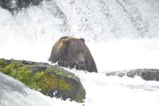 アラスカのグリズリーの画像143