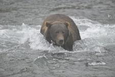 アラスカのグリズリーの画像146
