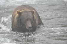 アラスカのグリズリーの画像147