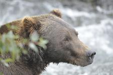 アラスカのグリズリーの画像150