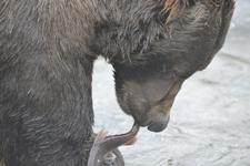 アラスカのグリズリーの画像151
