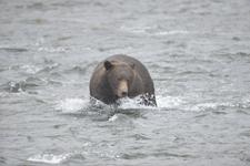 アラスカのグリズリーの画像153