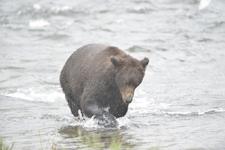 アラスカのグリズリーの画像155