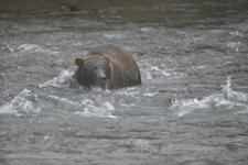 アラスカのグリズリーの画像163