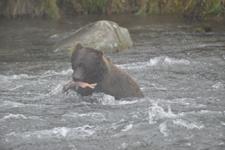 アラスカのグリズリーの画像164