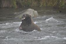 アラスカのグリズリーの画像166
