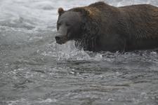 アラスカのグリズリーの画像171