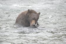 アラスカのグリズリーの画像175