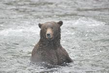 アラスカのグリズリーの画像176