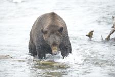 アラスカのグリズリーの画像178