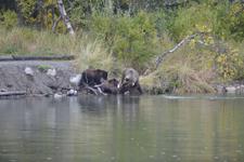 アラスカのグリズリーの画像180