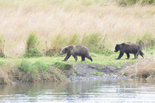 アラスカのグリズリーの画像184