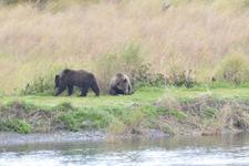 アラスカのグリズリーの画像185