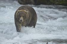 アラスカのグリズリーの画像189