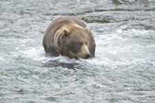 アラスカのグリズリーの画像190