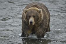 アラスカのグリズリーの画像193