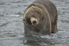 アラスカのグリズリーの画像194