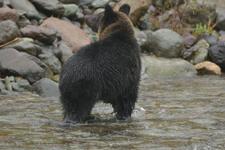知床半島のヒグマの画像038