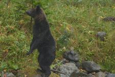 知床半島のヒグマの画像051