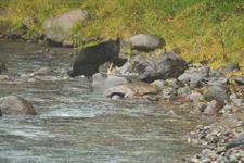知床半島のヒグマの画像068