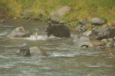 知床半島のヒグマの画像075