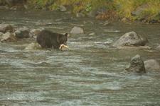 知床半島のヒグマの画像084
