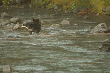 知床半島のヒグマの画像086