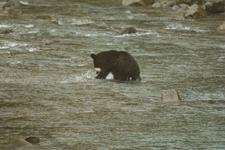 知床半島のヒグマの画像089