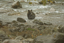 知床半島のヒグマの画像092