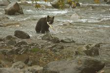 知床半島のヒグマの画像093