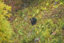 知床半島のヒグマの画像100