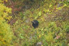 知床半島のヒグマの画像101