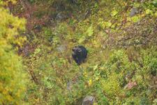 知床半島のヒグマの画像102
